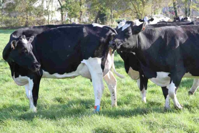 cow insemination