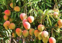 A mango tree.