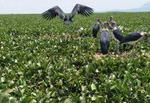 Water hyacinth at Lake Victoria