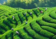 A tea plantation