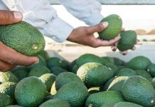 Hass avocadoes to be exported into China.
