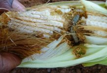 fall armyworm in maize