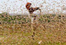 locusts WFP