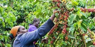 Coffee Farming CMA