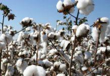 EAC Cotton