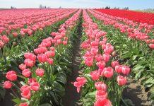 Adenia acquires Red Lands Roses